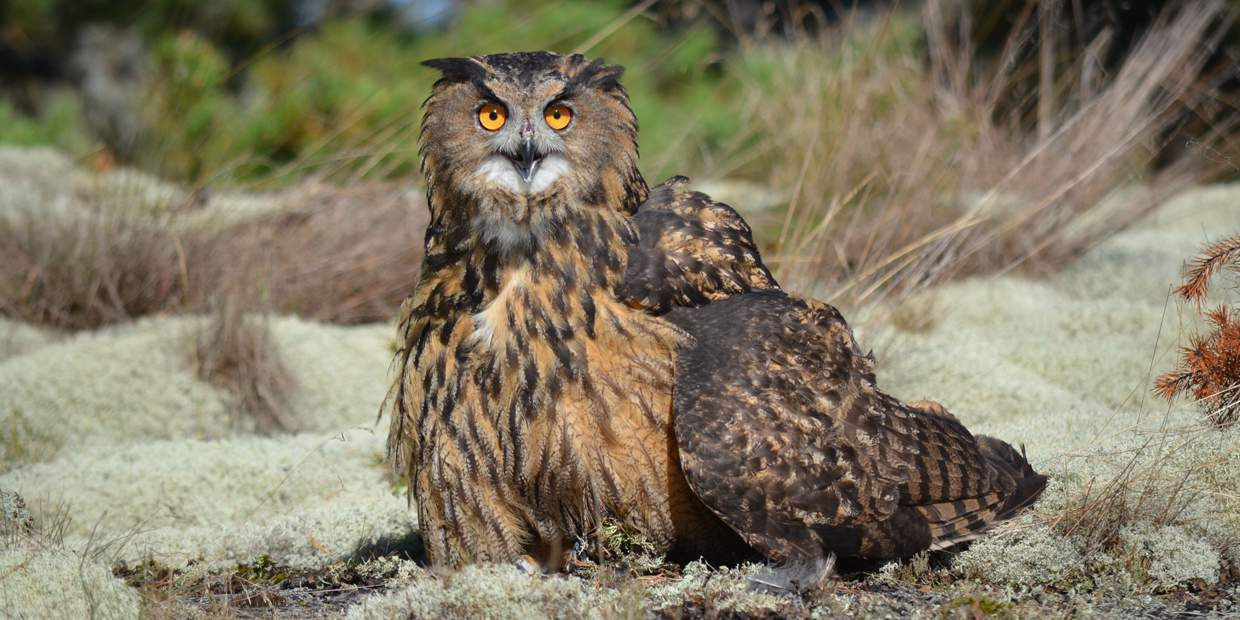 A picture of an eagle-owl in the Stockholm archipelago.